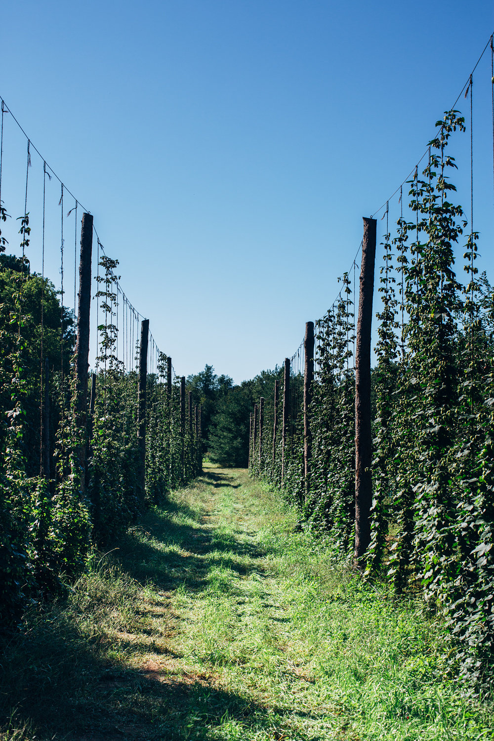Hops growing on huge tamarack tree logs.
