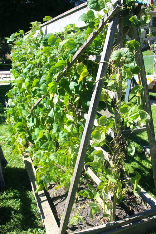Beans thriving on a trellis in Lunna's garden.