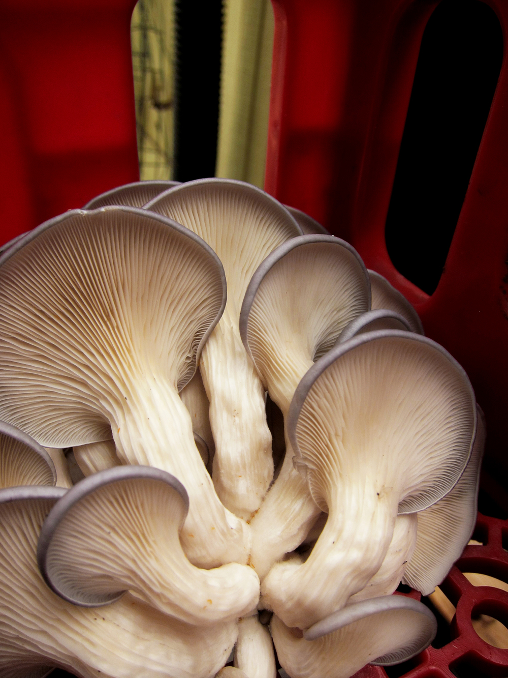 Close up of oyster mushrooms - a hardy, versatile, resilient species.     Photo provided by Martin Gordon