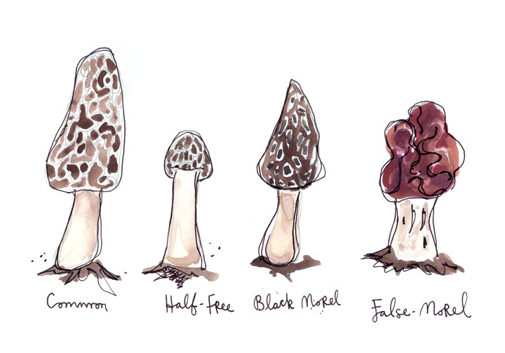 Pick only the common (yellow or grey) or black Morel. Do plenty of research before you head out so you can be confident you are eating the non-toxic variety.