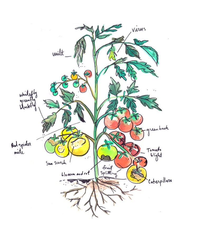 Speaking tomato what your plant is trying to tell you tootie illustration by ashley barlow art ccuart