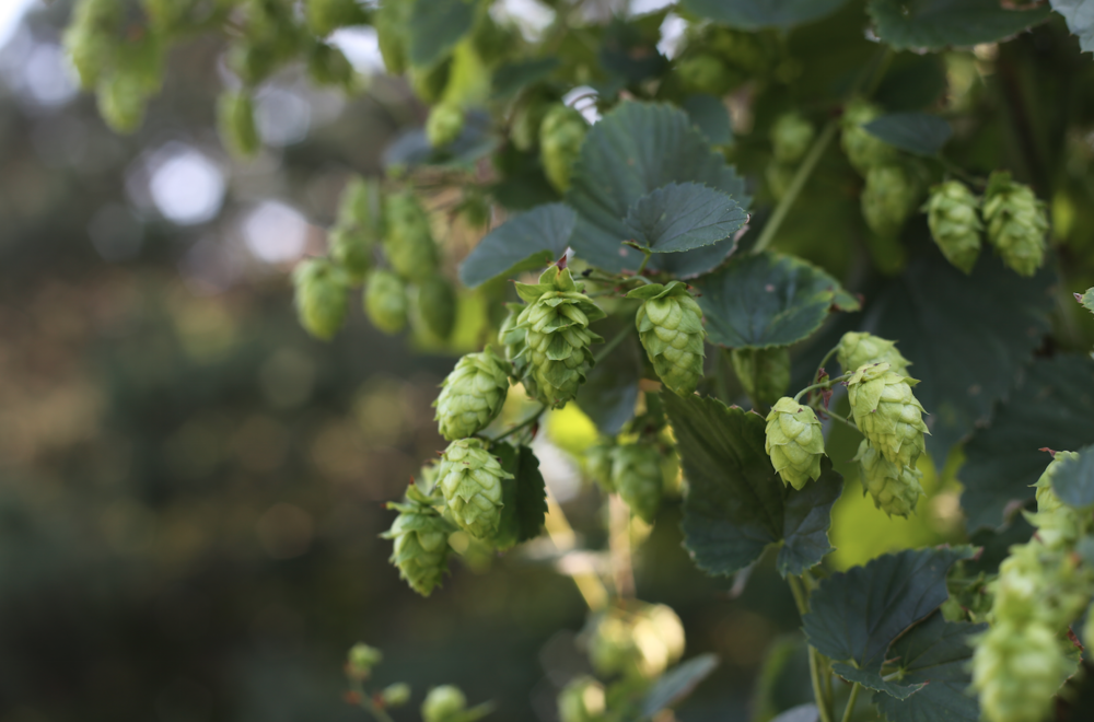 Hops are the female only flowers of the hops plant.