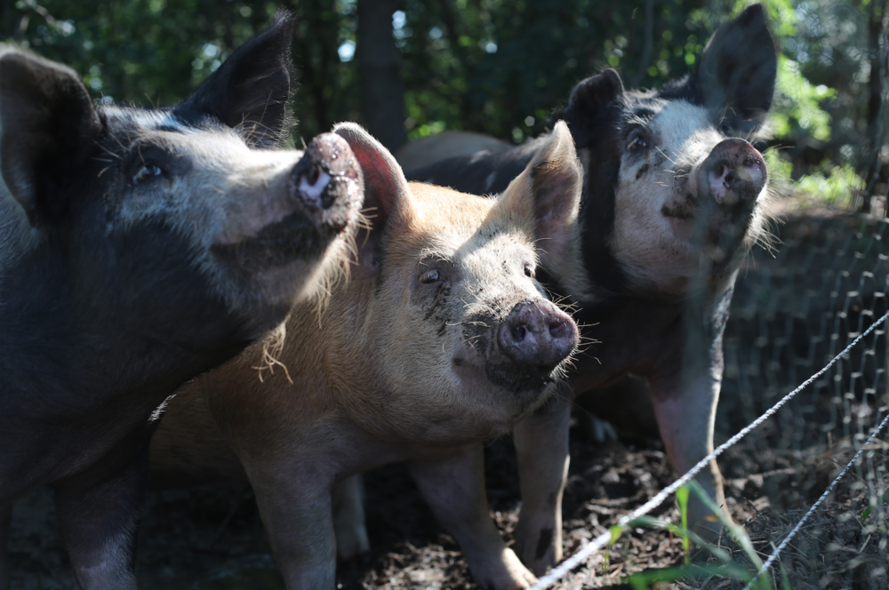 The three little pigs of Berkshire and Duroc breeds.