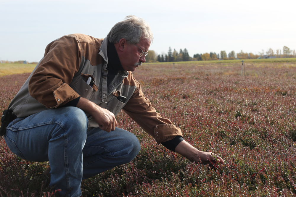 Randy Forster showing us the cranberry vines before the fields are flooded