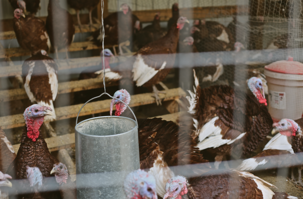 "99% of all turkeys raised in the Midwest are the ""Broad-Breasted White"" variety, sometimes also called the ""Large White.""   These birds are raised in confinement in extremely crowded conditions on factory farms. The birds have little resemblance to those found in a more natural pasture setting like these Bourbon Reds."