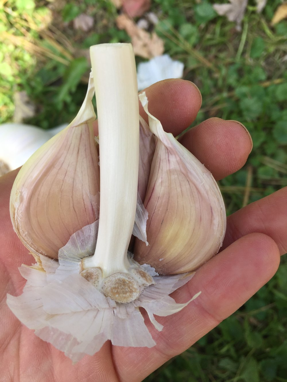 how do you plant garlic?