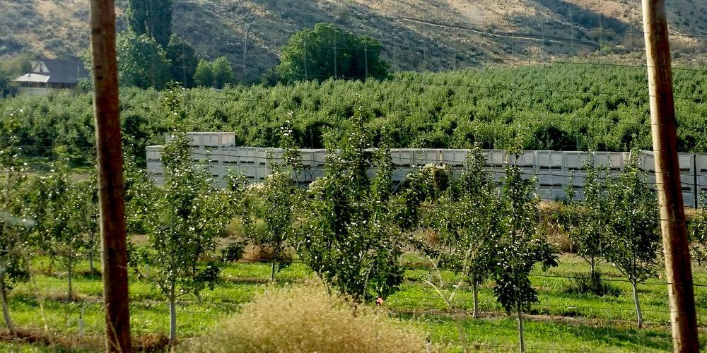 Pear Orchard.jpg