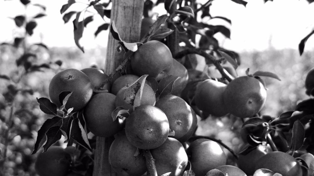 Ripening-Cider-Apples-Lars-Ringsrud.jpg