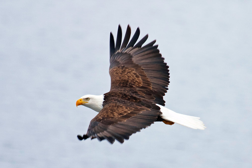 Bald Eagles congregate this time of year in Coeur d'Alene, Idaho. Just gather your people and go.