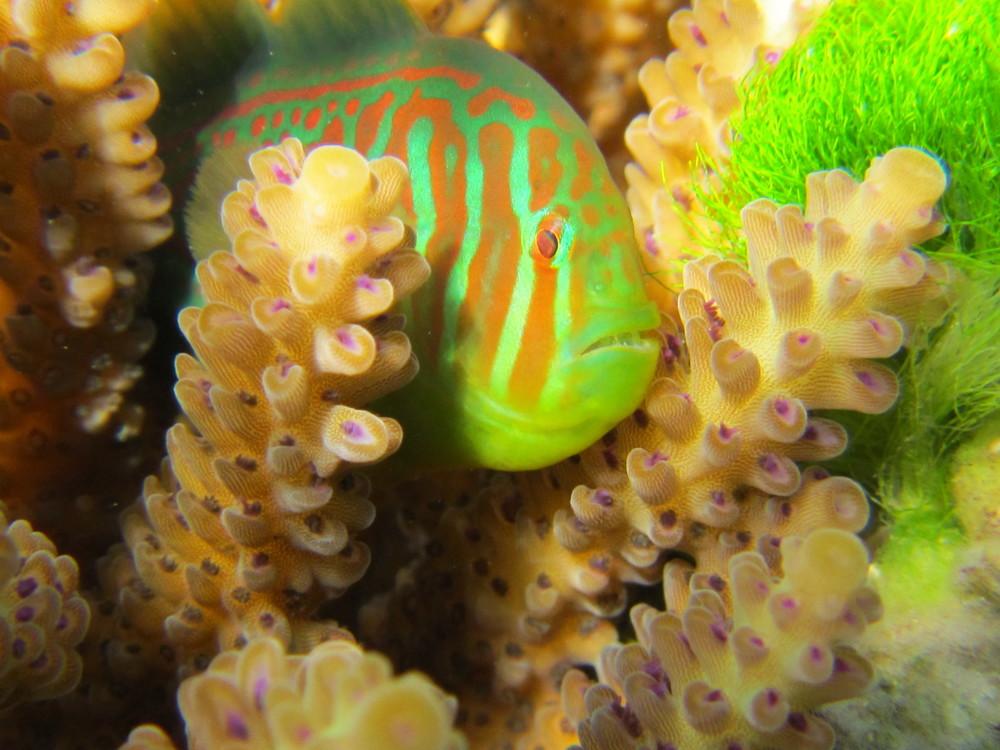 Coral Goby (Gobiodon histrio)