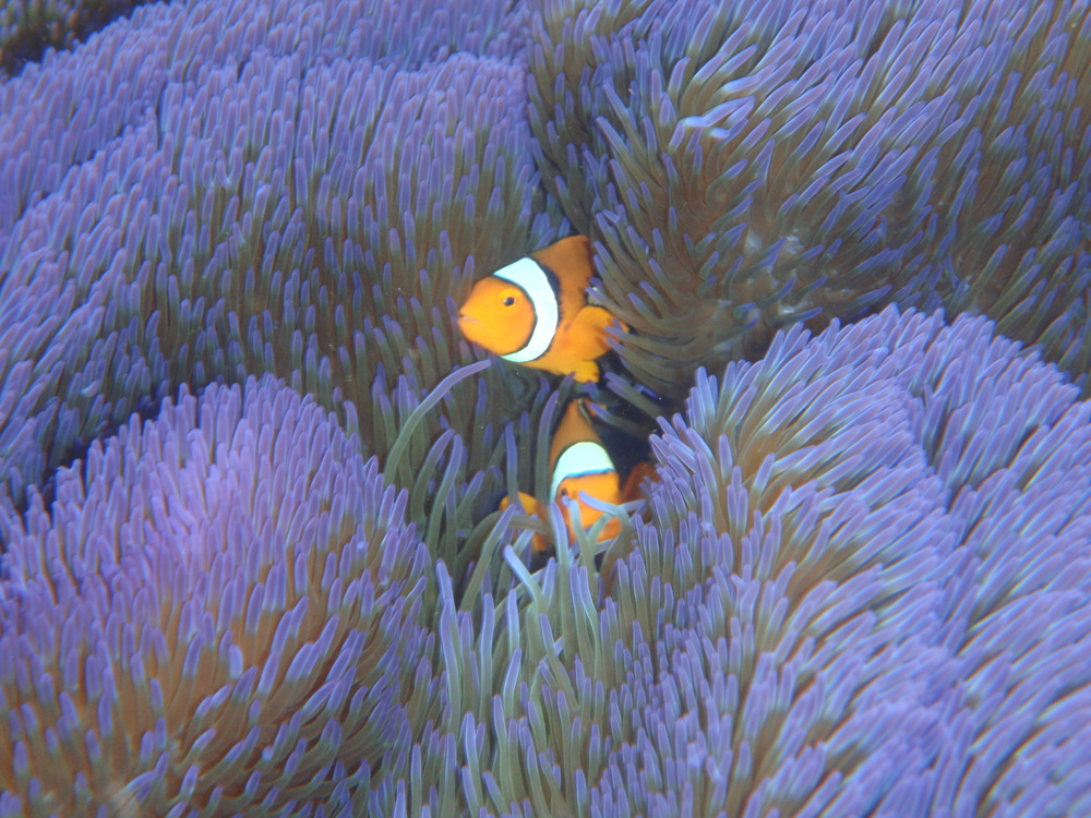 Amphiprion percula peeking out of an anemone