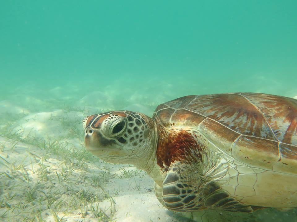 Juvenile green sea turtle