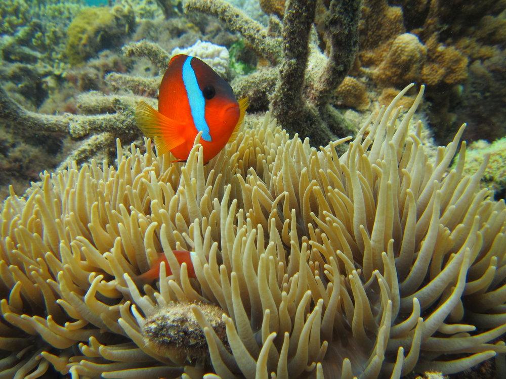 Anemonefish (Amphiprion melanopus)