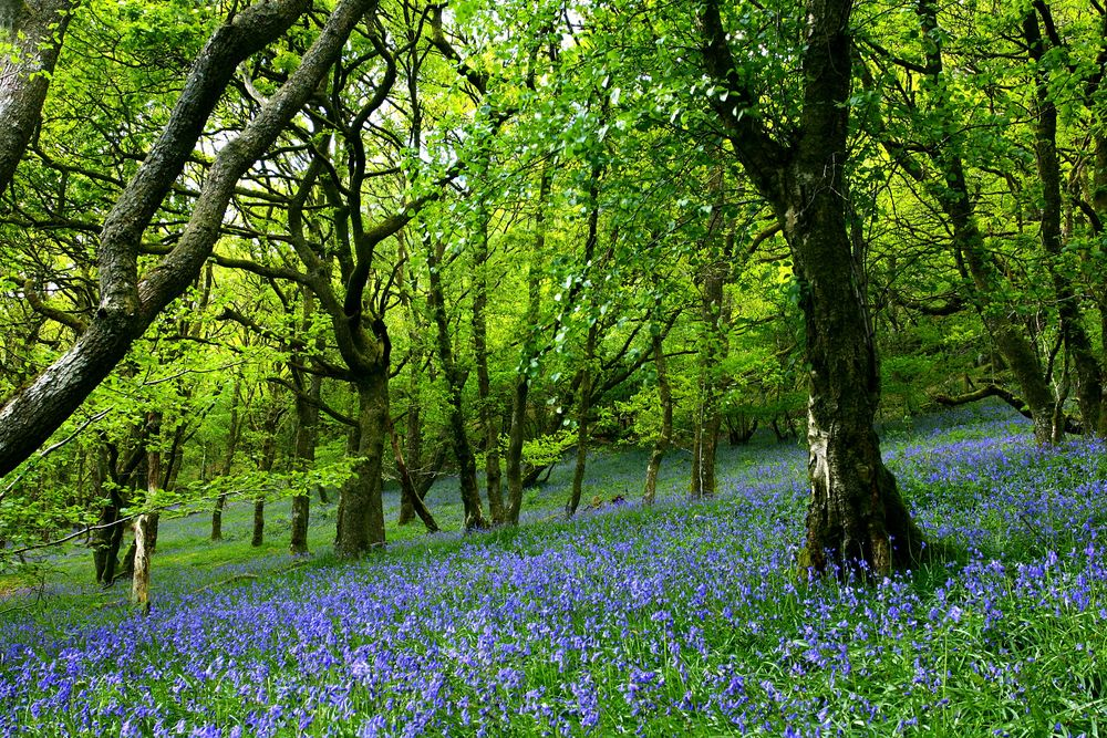 Bloom-for-only-a-few-weeks-every-spring-carpeting-the-forest-floor-and.jpg