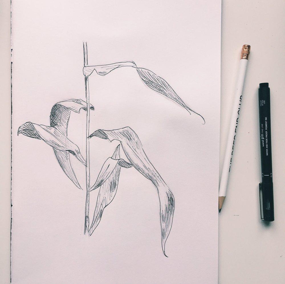 cornleavesbotanicalillustrationhannahlewis