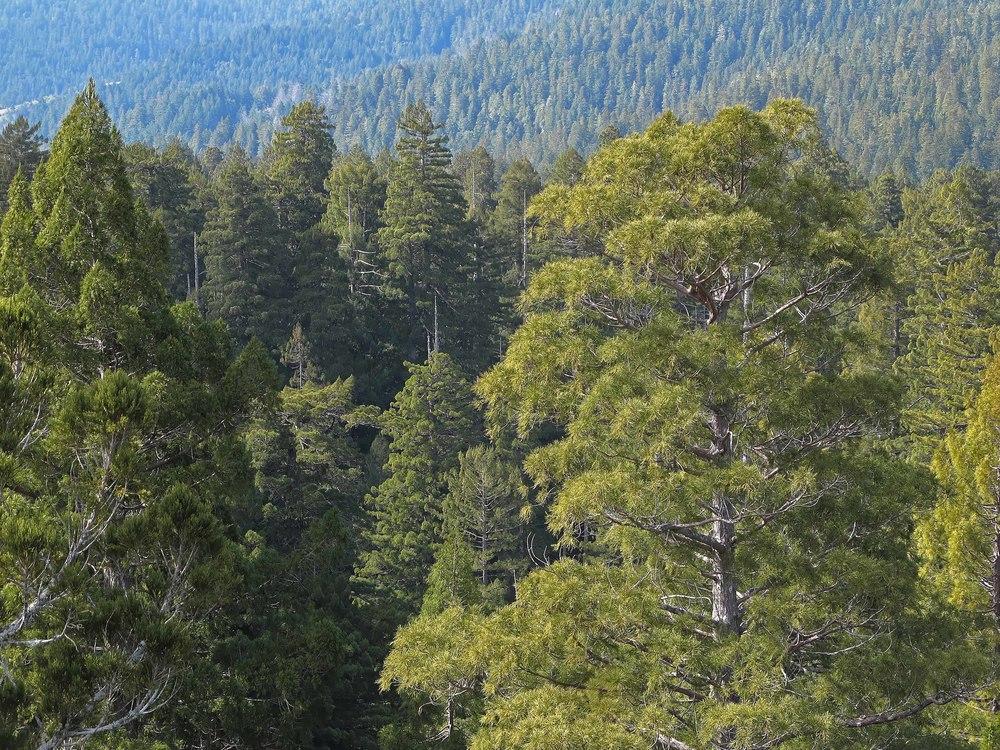 Humboldt Redwoods Canopy