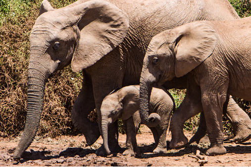 elephant family.png