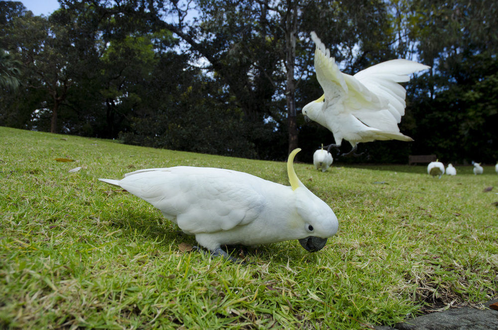 Cockatoos of Sydney