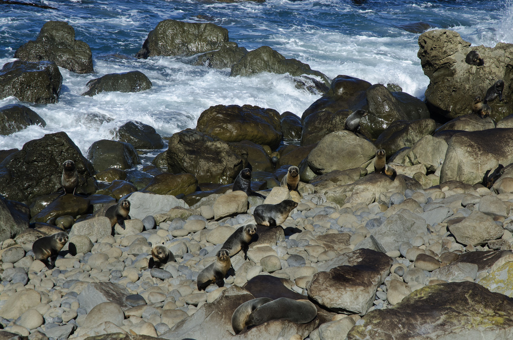 400 Seals South Island.jpg