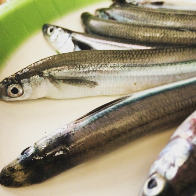 Fruits of last nights labors!!!! First grunion run and it was a great success. All captured with bare hands around midnight. Soon to be battered, fried, and noshed. 🐟❤️🐟