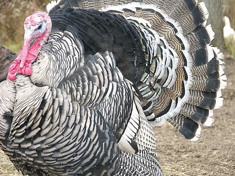 turkey17 a.jpg