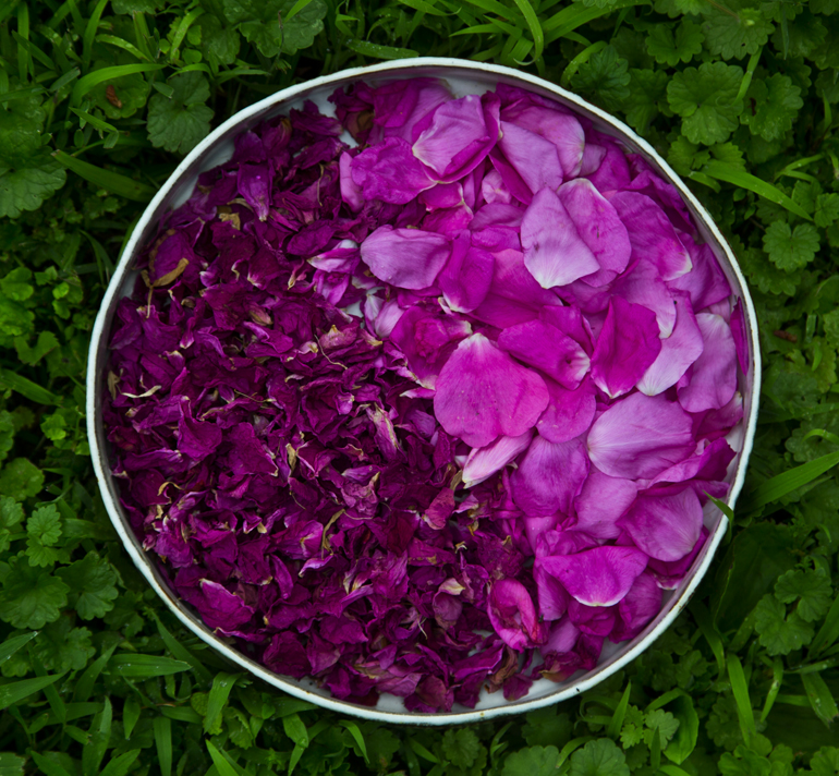 rose petals on ground ivy web.jpg