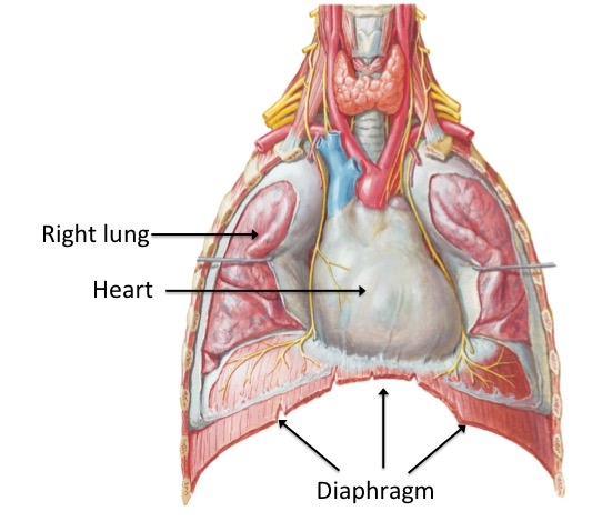 Image 1: This is a view of the thorax with the front of the rib cage removed to show the heart, lungs and diaphragm. The heart sits at the apex of the diaphragm. When the diaphragm contracts, it draws down to create space in the thorax.