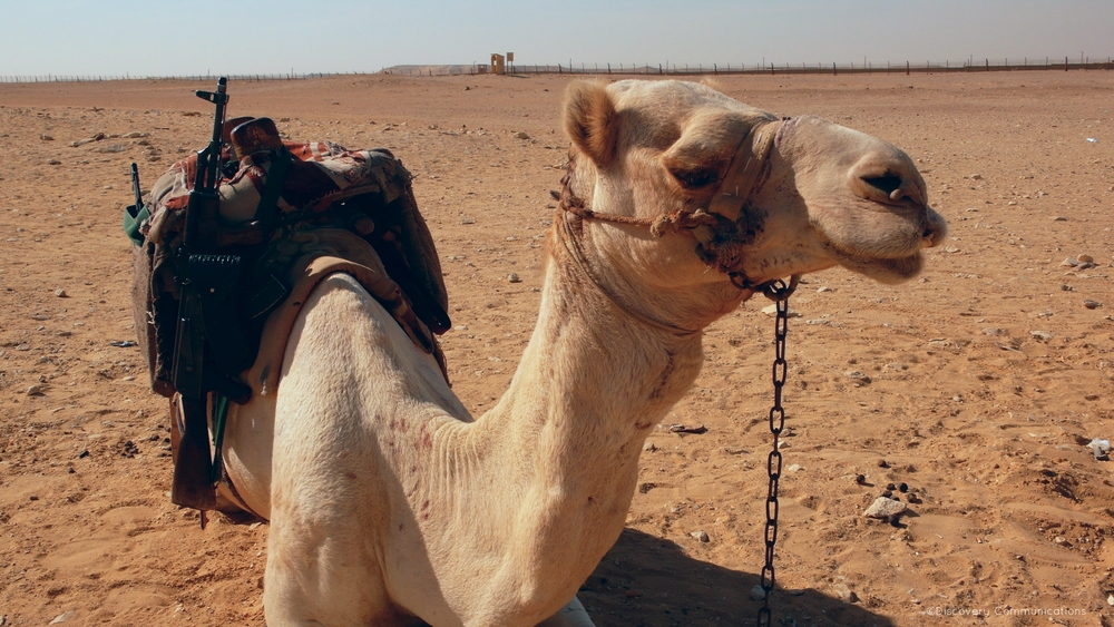 Armed to the hump. Don't mess with this camel!