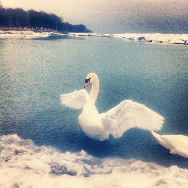Ice Swan. Lake Ontario.   #swan#ice#ontario#beaches