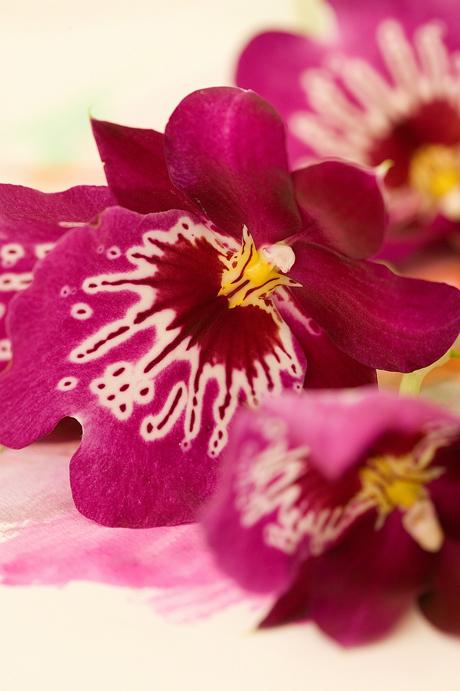Closeup_Miltonia_purple_pink-orchid