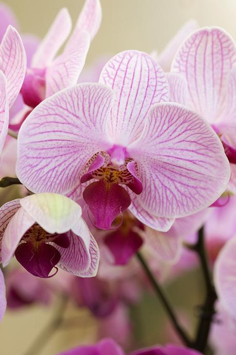 Closeup_Phalaenopsis_purple_lilac orchid