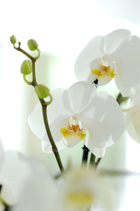 Closeup_Phalaenopsis_white orchid
