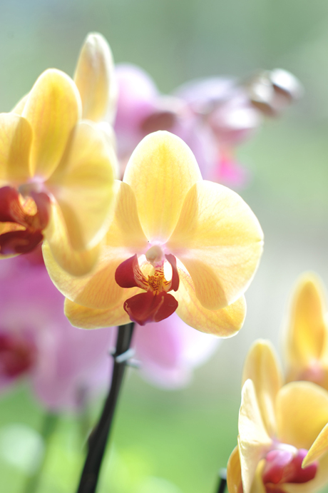 Closeup_Phalaenopsis_yellow orchid