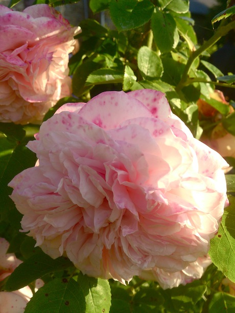 Old fashioned scented tea rose