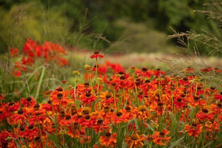 Helenium Morheim Beauty at Savill Garden