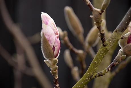 Magnolia grandiflora Lisa Cox Garden Designs