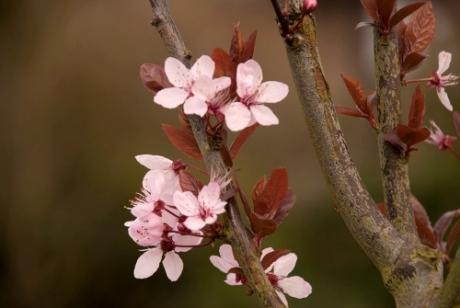 Prunus cerasifera 'Nigra' Lisa Cox Garden Designs