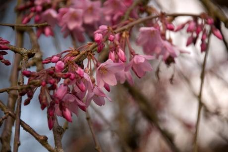 Prunus pendula 'Pendula Rosea' Lisa Cox Garden Designs