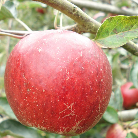 Saltcote-Pippin-apple