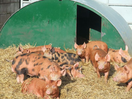 ginger pigs in pen
