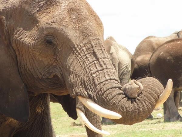 paws_africa_safaris_elephant.jpg