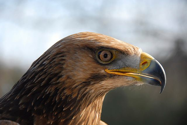 close up eagle.jpg
