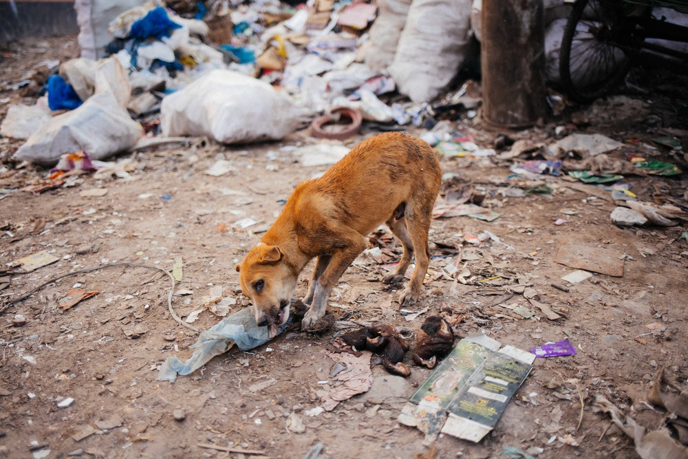 A wild dog feeds off goat's hooves from a nearby bag full of them.