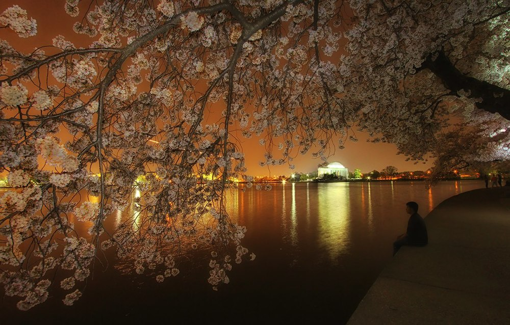 Cherry Blossom Honorable Mention  Jayanta Mondal