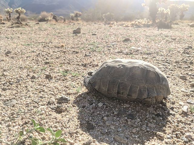 This is a PSA about desert tortoises. The desert tortoise is an increasingly endangered species. The other day, I moved this guy out of the middle of the road in Joshua Tree. I might have run over him if I was going faster. This is the second desert tortoise I've moved from the middle of the road in three years, and I'm only out here once or twice a year. The first one was about two feet in diameter. Huge and old. A family of tourists had stopped to take pictures of it. In the middle of the road. I waited from them to do something, but they just left it there and drove off when they were done. They're very timid and gentle. If you get anywhere near them, they just retreat into their shells. Very easy to move. TBH, it's felt like a honor to do them these favors. So if you're in the high desert, please keep an eye out for desert tortoises. And in general, just care for our animals and environment. Thanks.  Thanks to @a_times_three for the skinny on desert tortoises.