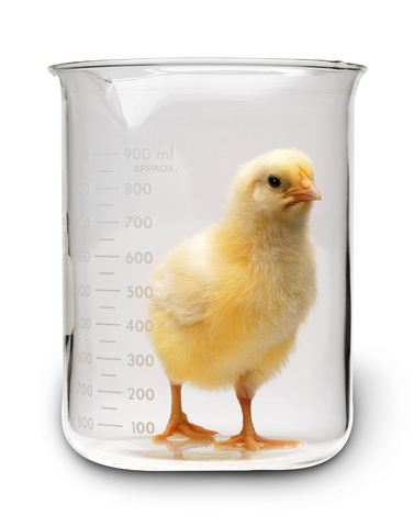 chick in beaker full size