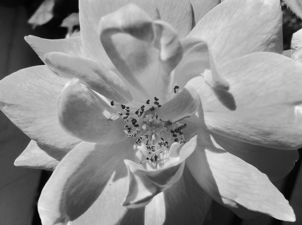 III - rose // Rosa