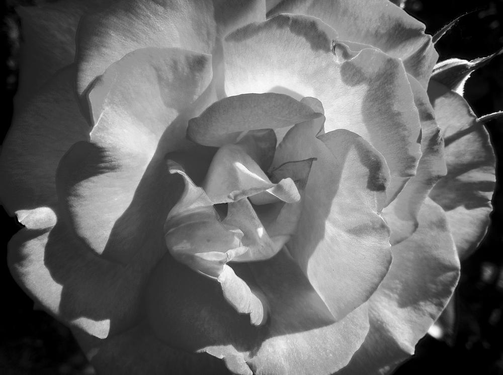 I - rose // Rosa