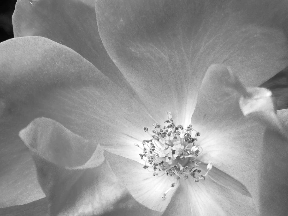 II - rose // Rosa