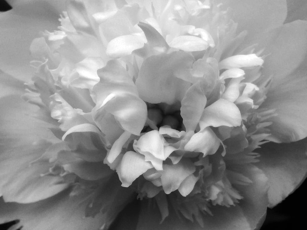 I - camellia // Camellias japonica